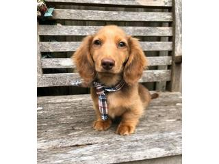 Dachshund Puppies for sale - Best Online Prices